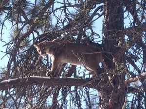 Hunt Mountain Lion